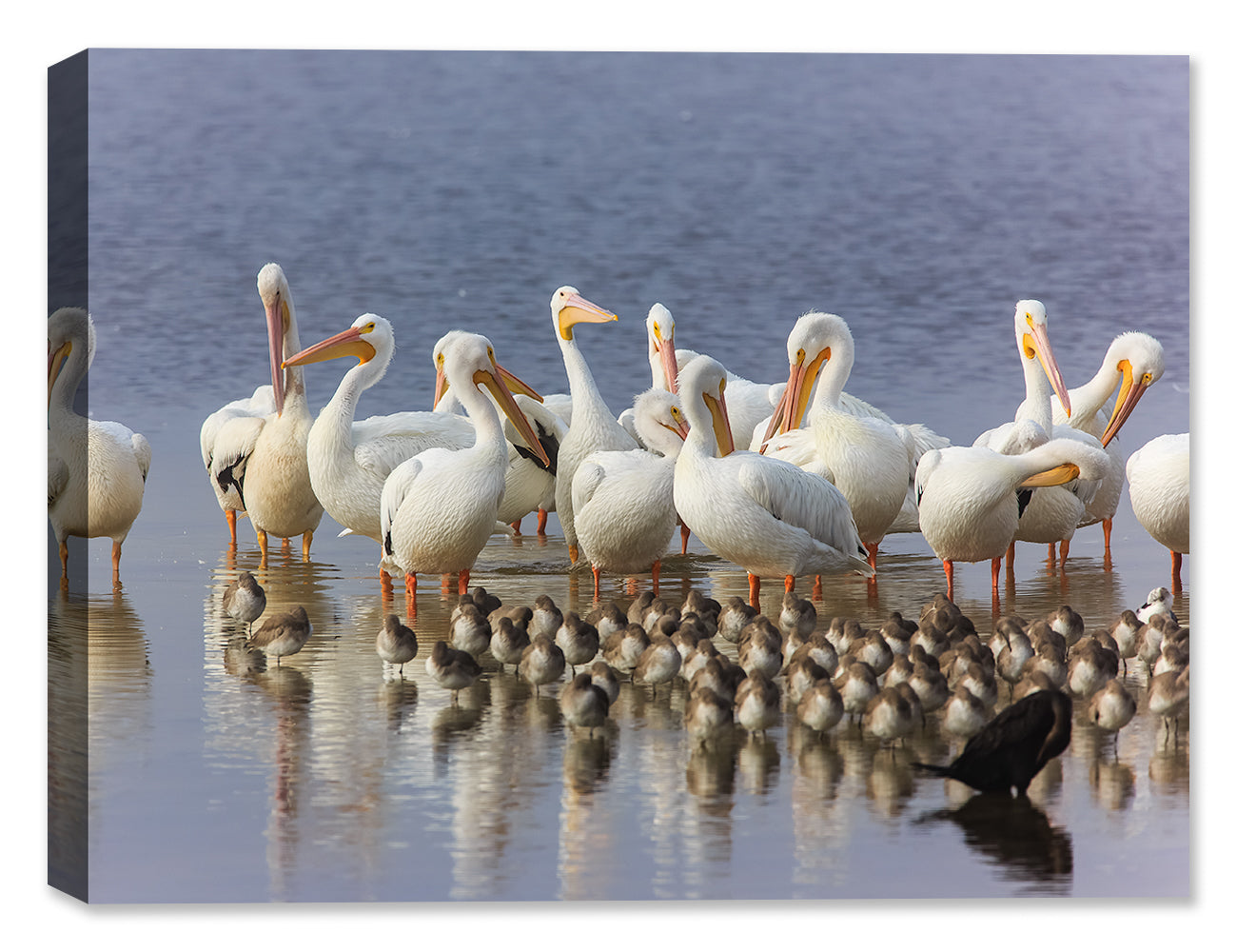 White Pelicans - by Garry Wilcox