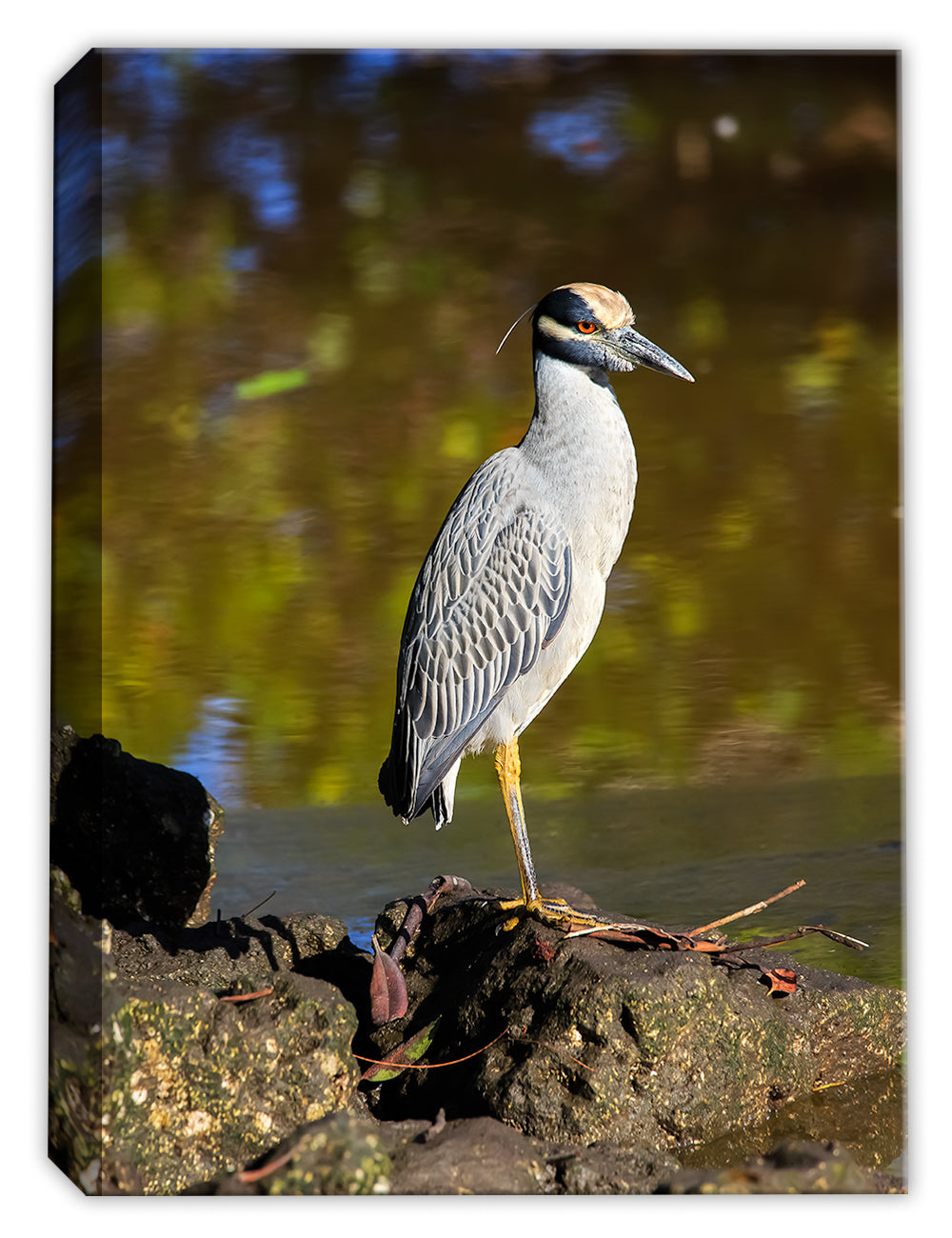 Yellow Crowned Night Heron - by Garry Wilcox