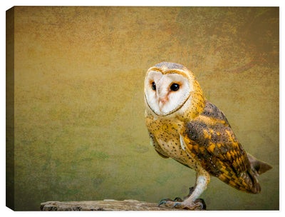Barn Owl  - Digital Painting from Photograph