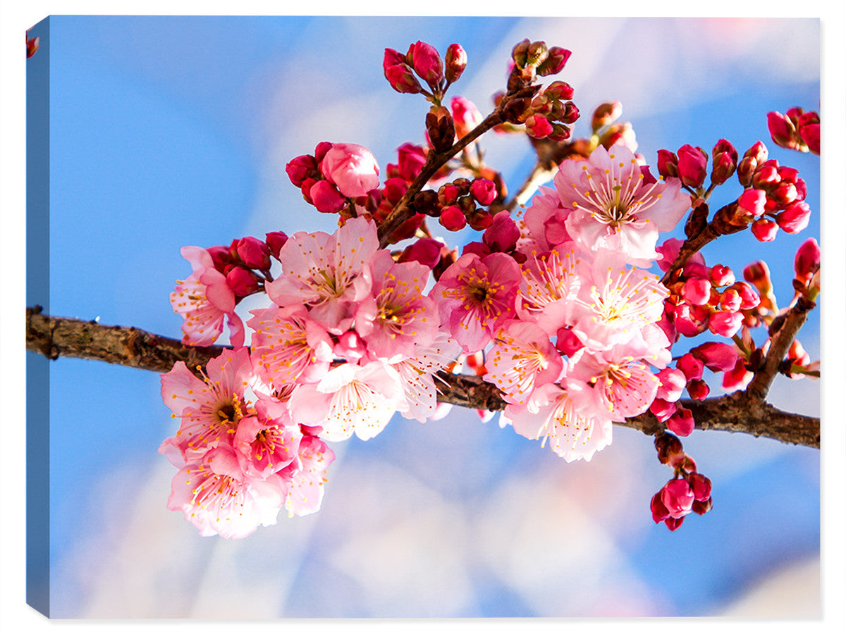 Cherry Blossoms - Canvas Art - Canvas Art Plus