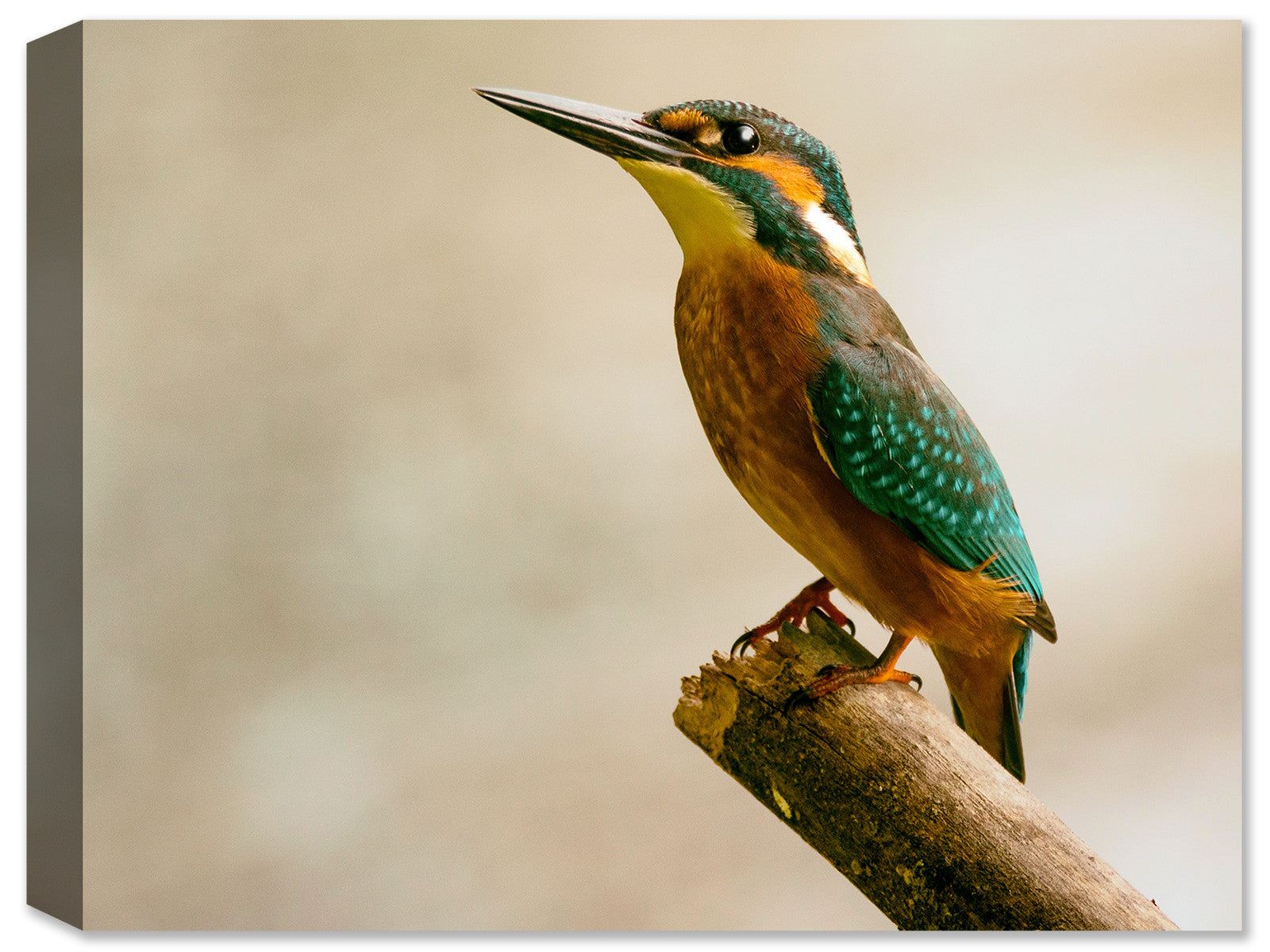 Kingfisher sitting on a Branch- Weatherprint - Canvas Art Plus