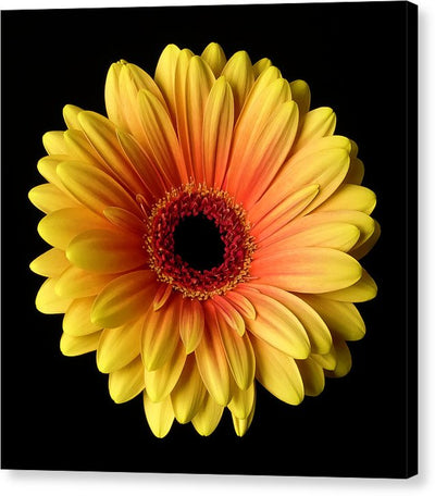 Sunflower On Black - Canvas Print