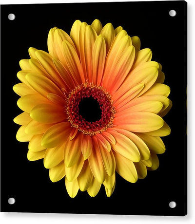 Sunflower On Black - Acrylic Print