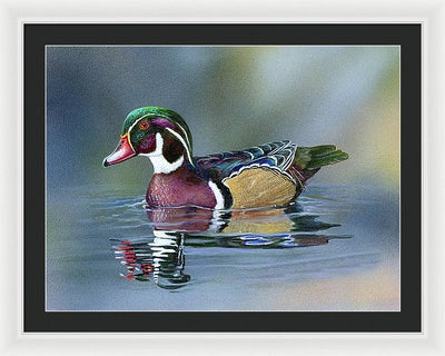 Wood Duck On Water - Framed Print