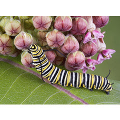 How To Grow Milkweed for Monarchs