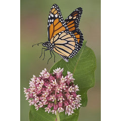 America's Favorite Butterfly: The Monarch