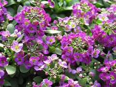 Clovers Garden - Alyssum Clear Crystal Purple Shades
