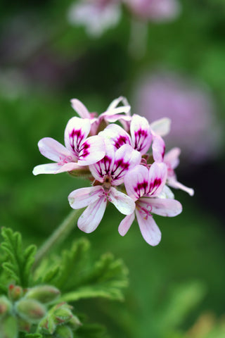 Plants That Protect Your Family From Mosquitoes Clovers Garden Tips
