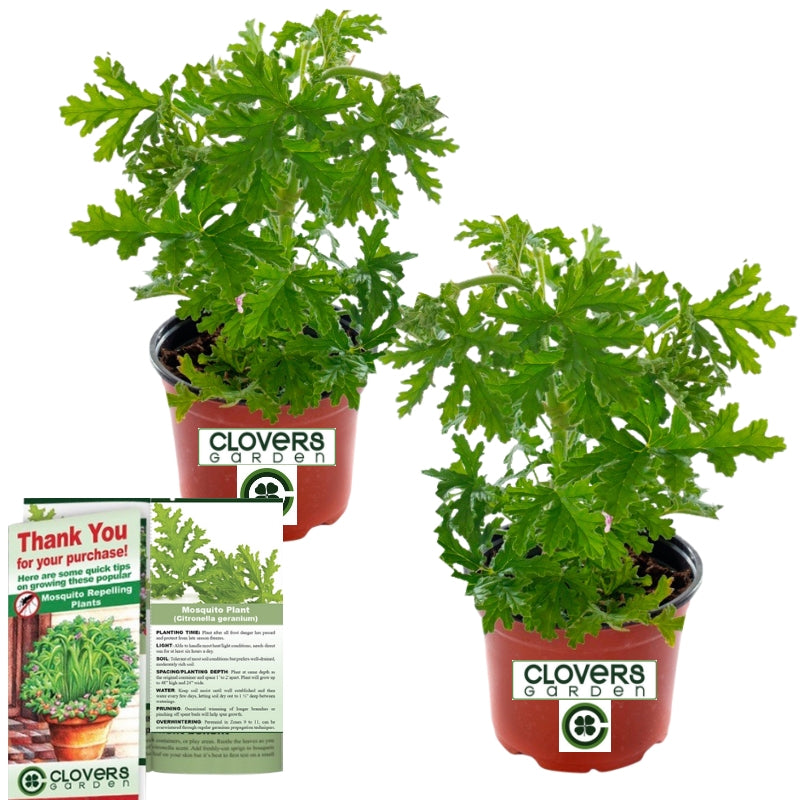 Clovers Garden 2 Large Citronella Plants in 4-Inch Pots – Citrosa Geranium Plant Protects Outside Patio, Yard, Balcony or Garden – Big Healthy Plants Arrive Ready to Grow, Natural Lemon Scent