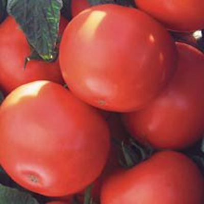 Biltmore Tomato Plants | Two Live Plants | Non-GMO, Determinate