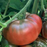 Black Krim Tomato Plant - Two Plants