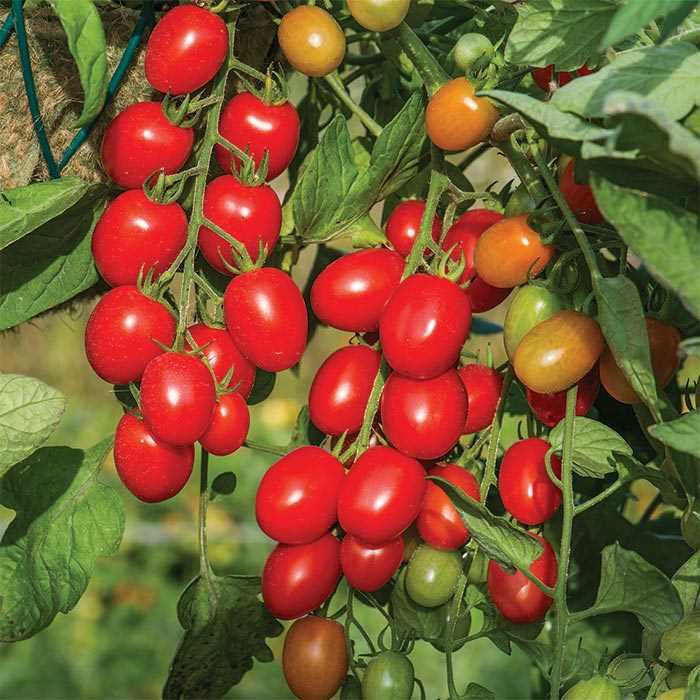 Fantastico Tomato Two Plants  – Non-GMO, Blight-Resistant