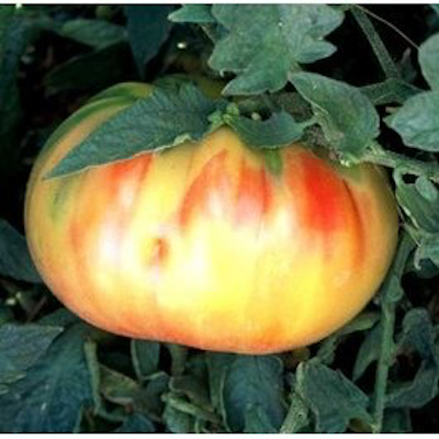 Old German Tomato Two Plants -- Non-GMO, Heirloom, Large Fruit