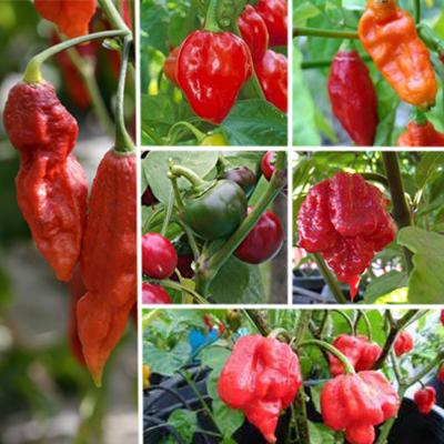 Ring of Fire Hot Pepper Collection (Six Live Plants) World Record Hot Peppers