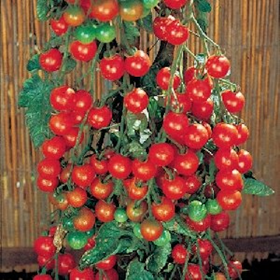 Sweet 100 Tomato Two Plants -- Non-GMO, Huge Yields