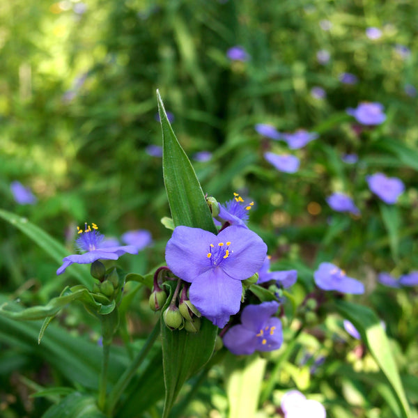 Bird & Pollinator Native Wildflower Seed Mix -- Non-GMO, Non-GE, All Perennial, No Filler