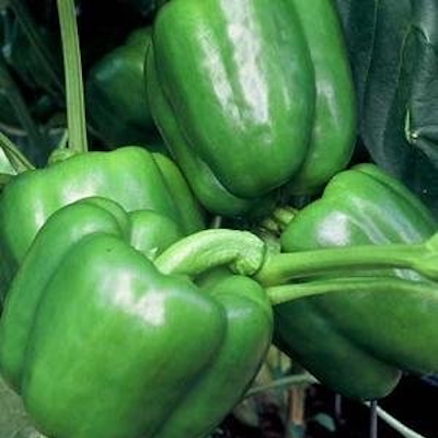 Whopper Pepper | Two Live Garden Plants | Non-GMO, Sweet, XL Fruit
