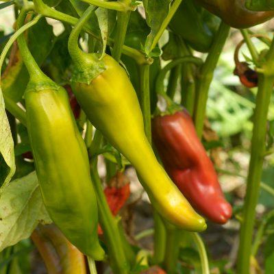 Anaheim Pepper Plants | Two Live Garden Plants | Non-GMO, Mild Hot Chili-Type