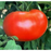 Better Boy Tomato Plants | Two Live Garden Plants | Indeterminate, World Record Holder!