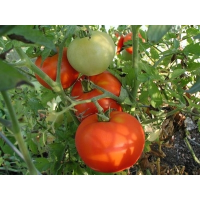 Big Beef Tomato Plant - Two Plants