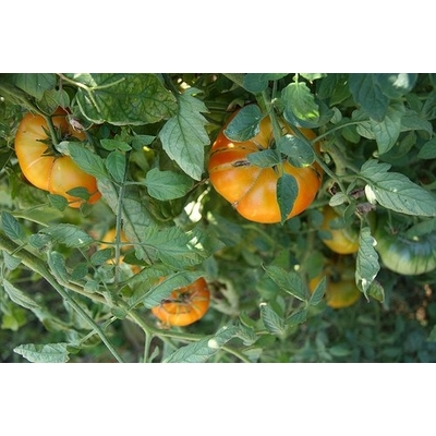 Big Rainbow Tomato Plant – Two Plants – Non-GMO