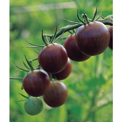 Black Cherry Tomato (Two Live Plants)