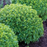 Boxwood Basil Plants | Two Live Herb Plants | Non-GMO, Globe-shaped