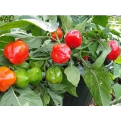 Caribbean Habanero Pepper | Two Live Garden Plants | Non-GMO, 2x Hotter than Ordinary Habaneros 300K SHU!