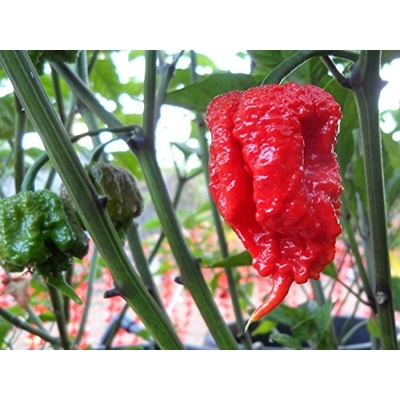 Carolina Reaper Pepper Plants -- Two Plants -- Worlds HOTTEST Pepper!