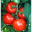 Celebrity Tomato Two Plants, Non-GMO, Semi-Determinate