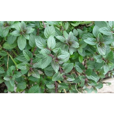 Chocolate Mint | Two Live Herb Plants | Non-GMO, Pollinator Favorite