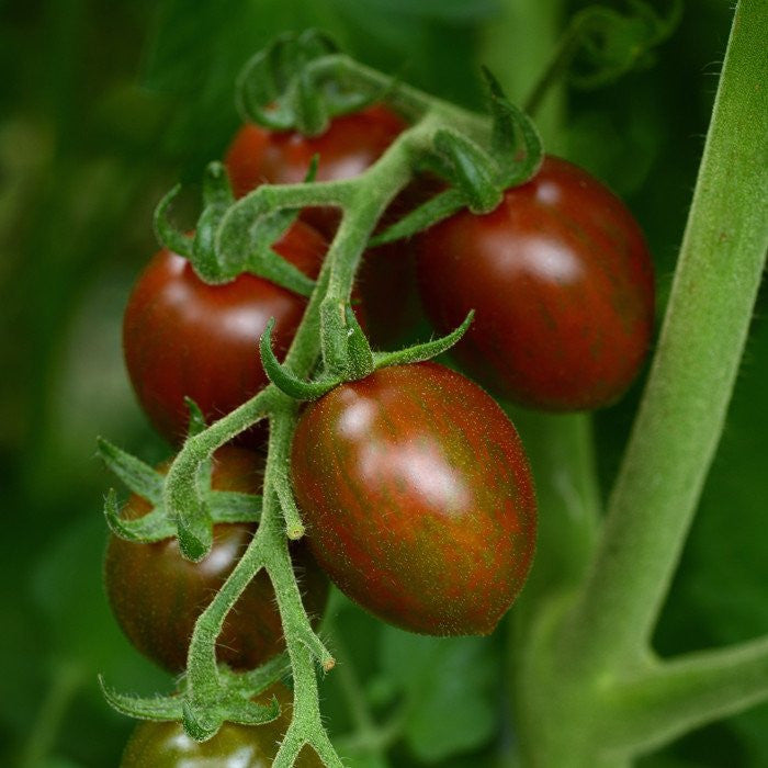 Chocolate Sprinkles Tomato Two Plants – Non-GMO, Striped with Dark Green