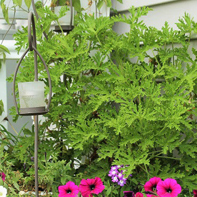Citrosa Geranium Mosquito Plant --  TWO Plants –  Naturally Repels Mosquitoes, No See Ums and Other Flying Insects