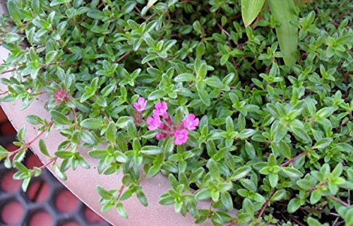 Creeping Lemon Thyme Mosquito Repellent TWO Plants, Non-GMO Edible Herb