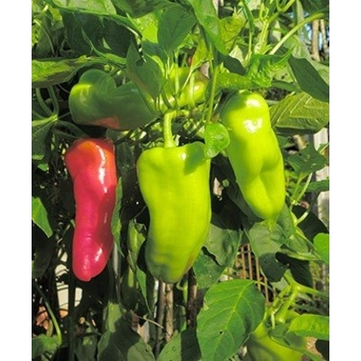 Cubanelle Pepper Two Plants - Non-GMO, Mild Spice