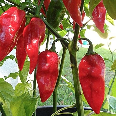 Devil's Tongue (Capsicum Chinense) Red Pepper Plant -- Two Plants