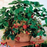 Eversweet Everbearing Strawberry Plant – Two Plants