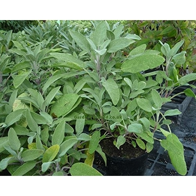 Garden Sage | Two Live Herb Plants | Non-GMO, Great Flavor