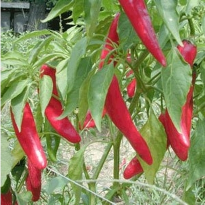 Garden Salsa Pepper Plant – Two Plants