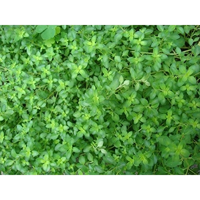 Garden Thyme Herb Plant -- Two Plants