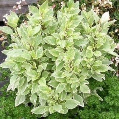 Genovese Basil Plant – Two Plants – Pesto Must Have!
