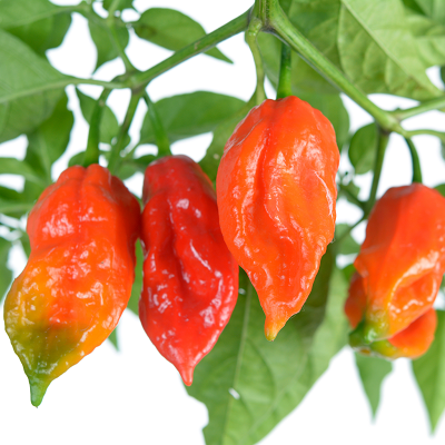 Ghost Bhut Jolokia Pepper | Two Live Plants | Non-GMO, High Yield, 900K SHU