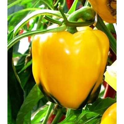 Golden California Wonder Bell Pepper Plants - Two Plants - Non GMO