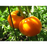 Golden Jubilee Tomato - Two Plants, Non-GMO
