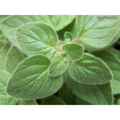 Greek Oregano – Two Plants