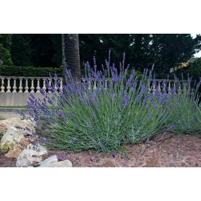 Hidcote Lavender – Two Plants