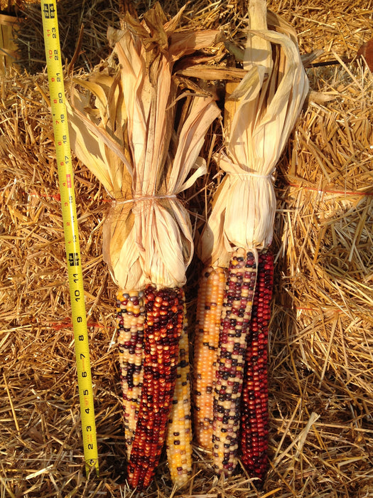 Giant Decorative Indian Corn - 2 Bunches of 3 Ears on Husk- Ears Approx 1 Foot Long - Grown and Harvested by Clovers Garden
