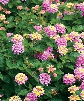 Lantana Camara Flowering Plants - Two Plants