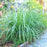 Lemongrass (Cymbopogon) TWO Plants -- Mosquito Repellent, Non-GMO, Edible Medicinal Herb