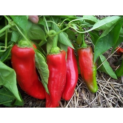 Melrose Pepper Plant – Two Nicely Sized Plants